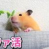 【ハムスター 動画】ハムスター1歳✨ソファーをかじるので豆苗でペチペチ!