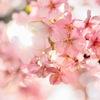 2017年3月5日 豊前の河津桜が満開 静豊園(せいほうえん)