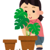 虫が嫌!もっと気軽に水耕栽培。チモシーの種を植えました。