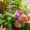 クレマチスも咲き出しました…「ビチセラ系テンテル」