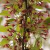 花見の季節も終わったし、'染井吉野'でもディスっとくか。
