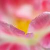 チューリップ、本当の花びらは3枚だけ