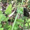 奈良県でアミガサタケは採れるのか part.2