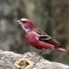 赤い鳥オオマシコ2