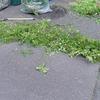 「エィヤァー」、出て来い新芽につづき丸刈りの庭