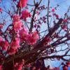 徒然日記 - 散歩と紅梅