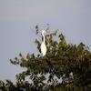 木の上で佇むダイサギ