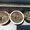 これからミニトマトを育てます!!