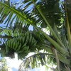 庭の島バナナがたくさんなっている話。