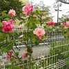 バラを訪ねて…と、なんじゃもんじゃの木