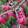 ニシキギ紅葉3