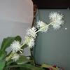 【滅多に咲かない『幸福の木のお花』の開花がさらにすすみました!…しかも、とっても良い香り♥】#85