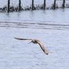 三番瀬を飛翔するオオソリハシシギ