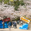 円山公園🌸