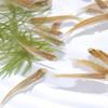 (日淡)ヒメダカ(約2cm)(50匹)【水槽/熱帯魚/観賞魚/飼育】【生体】【通販/販売】【アクアリウム/あくありうむ】