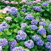 文京白山神社の紫陽花は満開