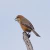 淀川河川敷の野鳥 Ⅴ
