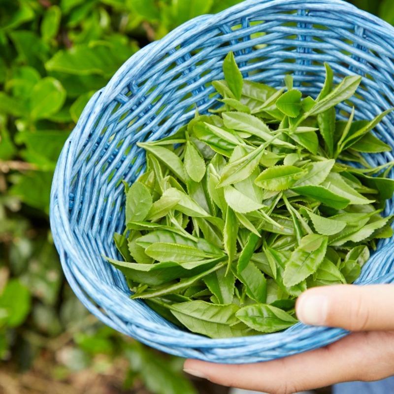 ご存知でしたか? お茶の京都・山城エリアは日本茶(抹茶・煎茶・玉露)のふるさと