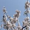 【受難週、コラム2】桜の花のように生きる***イエス様の生き方
