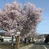 季節の便り:桜咲いたよ! [No.2021-S004]