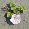 ハマヒルガオ 浜辺の砂に咲く淡いピンクの花