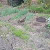 タマネギ植え付けの準備とニラの株分けと家庭菜園の様子。