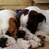 犬の膿皮症になる原因と治すにはどうすればいいの?
