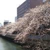 お花見できないのが残念ですが門前仲町の桜は満開です