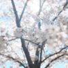 桜の下でのプロポーズ|告白された思い出の場所でのサプライズ体験談