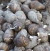 サトイモ植え付け