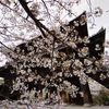 南禅寺〜蹴上インクラインの桜