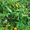 """畑からこんにちは!😃 211010   """"秋植えや秋まきの野菜が育って来ました!☝️🌱😃"""""""