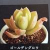 ☆ミニチュアの多肉植物☆ゴールデングロウとマーガレットレッピンを作ろう🎵