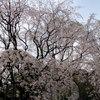 東京お花見名所 ライトアップも必見!六義園・樹齢70年のしだれ桜は圧巻の美しさだった