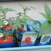 トマト苗植え付け