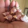 ヒナたちのおはなし 其の四 ‐シナモン文鳥とクリーム文鳥‐