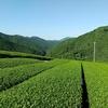 雨と付き合いながら収穫を進める二番茶