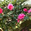 山茶花がきれいです。