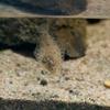 イシガレイ Platichthys bicoloratus