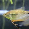 綺麗な熱帯魚パールグラミーの飼育と魅力とは