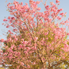 パンタナル (101) CONCEPCIONのラパチョの花