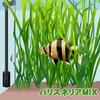 (水草)バリスネリア MIX 30本 【水槽/熱帯魚/観賞魚/飼育】【生体】【通販/販売】【アクアリウム】