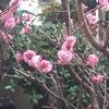 梅の花:枝をバッサリ!