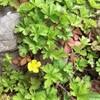 ヘビイチゴの葉色が美しい。でも葉のギザギザの切れ込みが大きく他もあり・ヘビイチゴなのか?