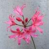 ネリネの一番花が開花
