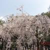 201904京都 平成最後の花見一人旅行