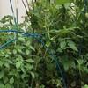 アップルベリーにたくさんの実と 今後の植物の配置とかね