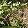 赤とんぼ 分からなくなってきた   Red dragonfly