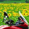 クロスランナーで夏の花 紫陽花とひまわり