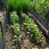 27day:冬支度(ブロッコリー・な花・ほうれん草・にんにくの苗植え)